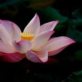 Romance Anonimo by Steven De Siow - Flowers Single Flower ( flower photography, flower closeup, lotus, flower up close, flower,  )