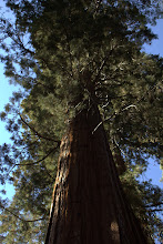 Photo: (young) Sequoia
