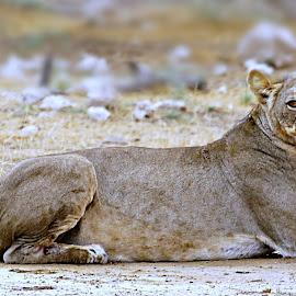 Lioness by Pieter J de Villiers - Animals Lions, Tigers & Big Cats