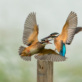 Common Kingfisher by Ken Cheung - Animals Birds ( bird, fight, kingfisher, fighting, common kingfisher,  )