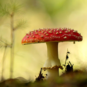 Amanita muscaria by Milan Horejsi - Nature Up Close Mushrooms & Fungi ( mushroom, red, fungi, nature, czech republic, muscaria )