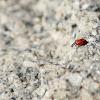 Adonis Ladybug