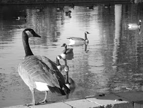 Photo: Black and white photo of a Canadian goose looking over the rest of the flock in the pond at Eastwood Park in Dayton, Ohio.