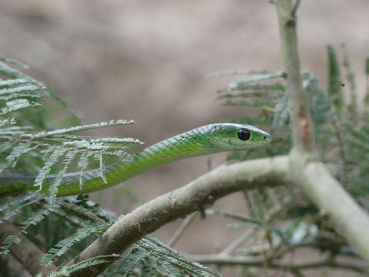 We spotted a huge, harmless Natal green snake
