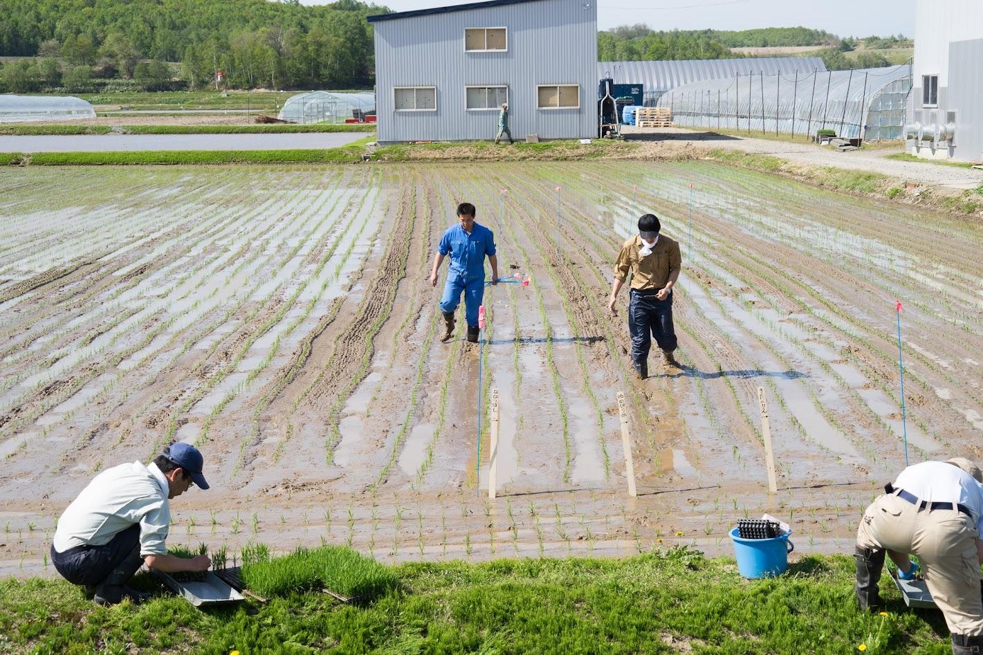 空知農業改良普及センターの水稲生育調査の苗植え