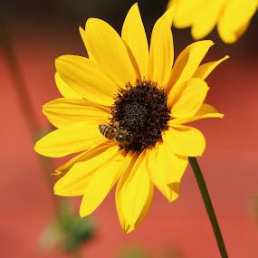 Flower & bee by Vivek Naik - Flowers Flower Gardens