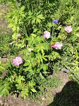 Photo: Wild rose: Rosa acicularis