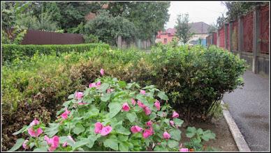 Photo: Turda - Str. Trandafirilor, nalba de gradina  - 2018.07.08