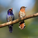 Violet cuckoo (male & female)