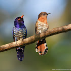 Violet cuckoo (male & female)