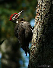 Photo: The stately Pileated Woodpecker, Annadel State Park.