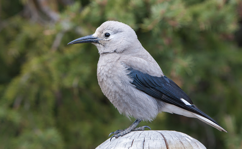 Photo: Clark's Nutcracker These birds live in mountainous regions of Southsest Canada, western US to Northern Mexico. They are built like a small crow with white patches on their black wings and tail. #PlusPhotoExtract