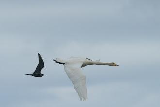 Photo: Whooperswan (Singschwan) and Great Skua (Skua); Westfjords, ISL