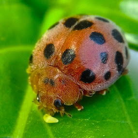 cute ladybugs by Christian Bgr - Animals Other