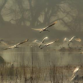 Fog, birds and a beautiful morning by Konstanze Singenberger - Animals Birds ( bird, nebel, fog, wasser, fliegen, lake, vogel )