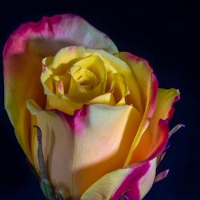Rose by Bert Templeton - Flowers Single Flower ( yellow, black, purple, rose, texas, flower,  )