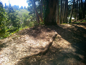 Photo: The root from this eucalyptus is tearing up the pavement.