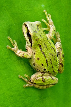 Photo: The Tree Frog has sticky toe pads it uses for climbing smooth surfaces.