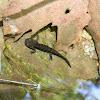 Fire salamander nymphs