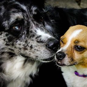 Gentle Kisses by Erin Heavilin - Animals - Dogs Portraits