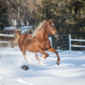 Snow horse by Michele Williams - Animals Horses ( field, gallop, chestnut, mane, horse, snow, tail,  )