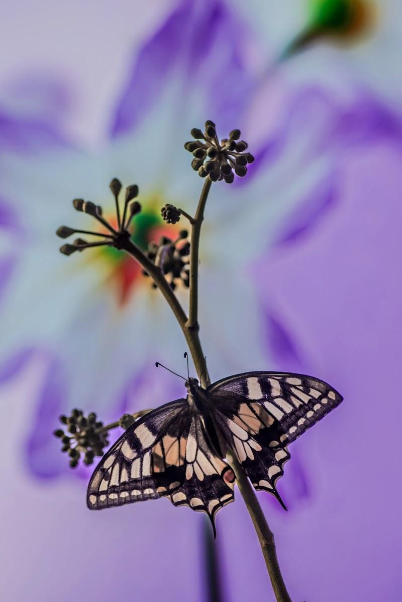 Papilio machaon di stefytina