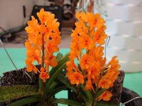 Photo: Ascocentrum miniatum - Hỏa Hoàng