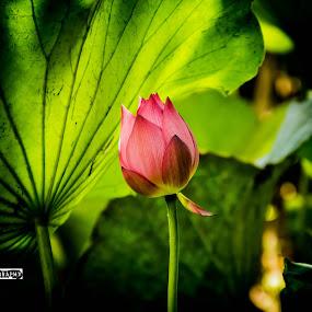 by Wohvener Amada - Flowers Single Flower ( lotus )