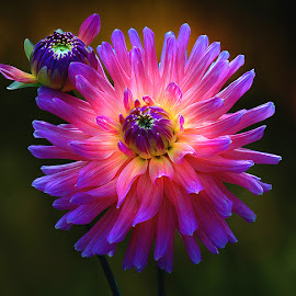Dahlia, The bi g and the small one by Carl Sieswono Purwanto - Nature Up Close Flowers - 2011-2013 ( blue, orange. color, colorful, mood factory, vibrant, happiness, January, moods, emotions, inspiration,  )