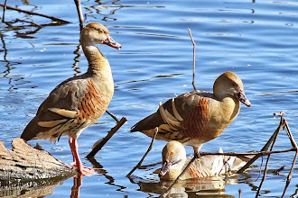 Photo: Plumed Whistling-Duck