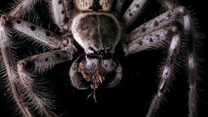 Curse of the Monster Spider thumbnail