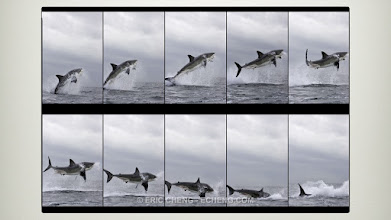 Photo: Breaching great white sharks: False Bay, South Africa