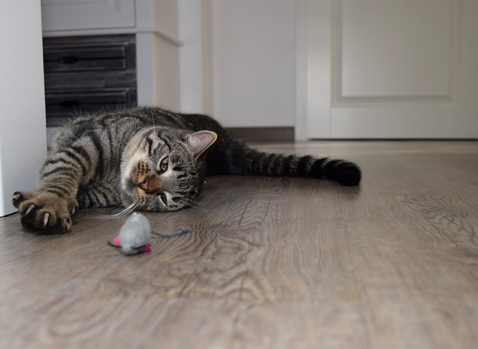 playful senior cat laying on ground with toy inside house