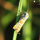 Rattlebox Moth
