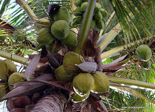 Photo: Coconut tree at Nueva Vallarta