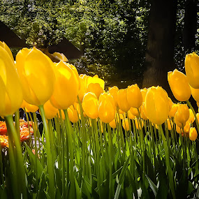 Bright in the Dark by Jayaananth Gopalaswamy - Nature Up Close Gardens & Produce ( tulip garden, keukenhof, sun coming through wildflowers, plants, beauty, tulips, scenic, yellow, spring, netherlands, grasses, pwcflowergarden, spring colorful flowers, nature, darwin hybrid, greenery )