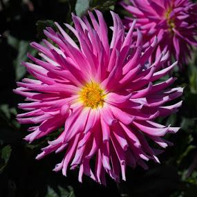 Pretty Pink by Janet Marsh - Flowers Single Flower ( pink, dahlia,  )