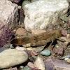Black Winged Grasshopper