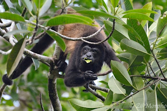 Photo: Howler Monkey @ Tiki Villas Lodge, Uvita