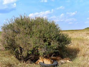 Photo: Lions hiding as much as possible from the afternoon sun. See the E AFR SAF LIONS album for more photos & videos.