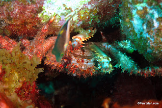 Photo: Channel Clinging Crab