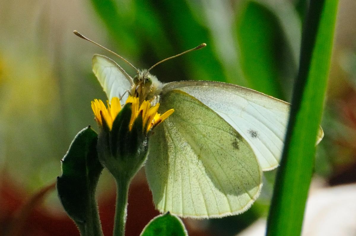 Small White; Blanquita de la col