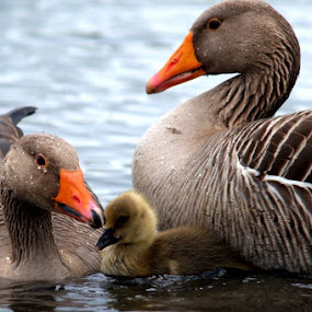 Family of Malards by Yvette O Beirne - Novices Only Wildlife ( ducks, geese, goose )