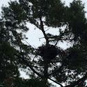Bald eagle (nest)