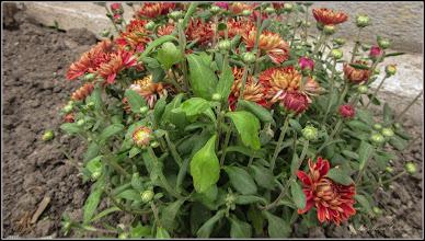 Photo: Crizanteme - din Turda, Str. Tineretului - 2019.09.17