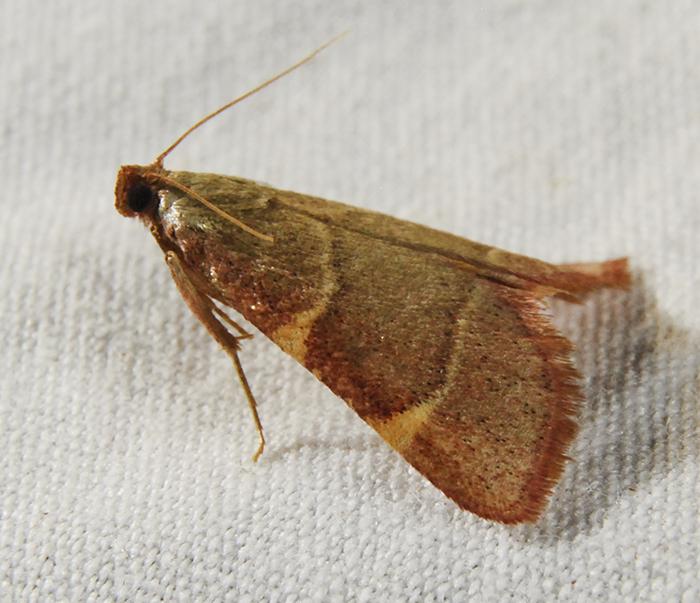 Pink-fringed Dolichomia Moth