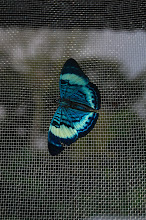 Photo: Butterfly in Manu National Park