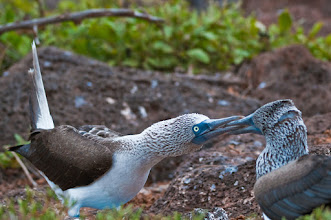 Photo: Blue footed boobies courting; North Seymour