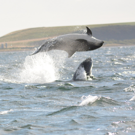 Dolphins by Faillie Photos - Animals Sea Creatures ( dolphin, mammals, action, sea )