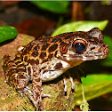 Rough-sided Frog